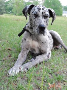 great_dane_stock_7_by_sigarnistock-d3hwnnj